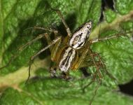 <em>Oxyopes lineatus</em> Latreille, 1806